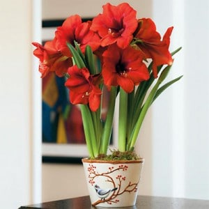 Red Amaryllis Plant Gift 2 Bulbs